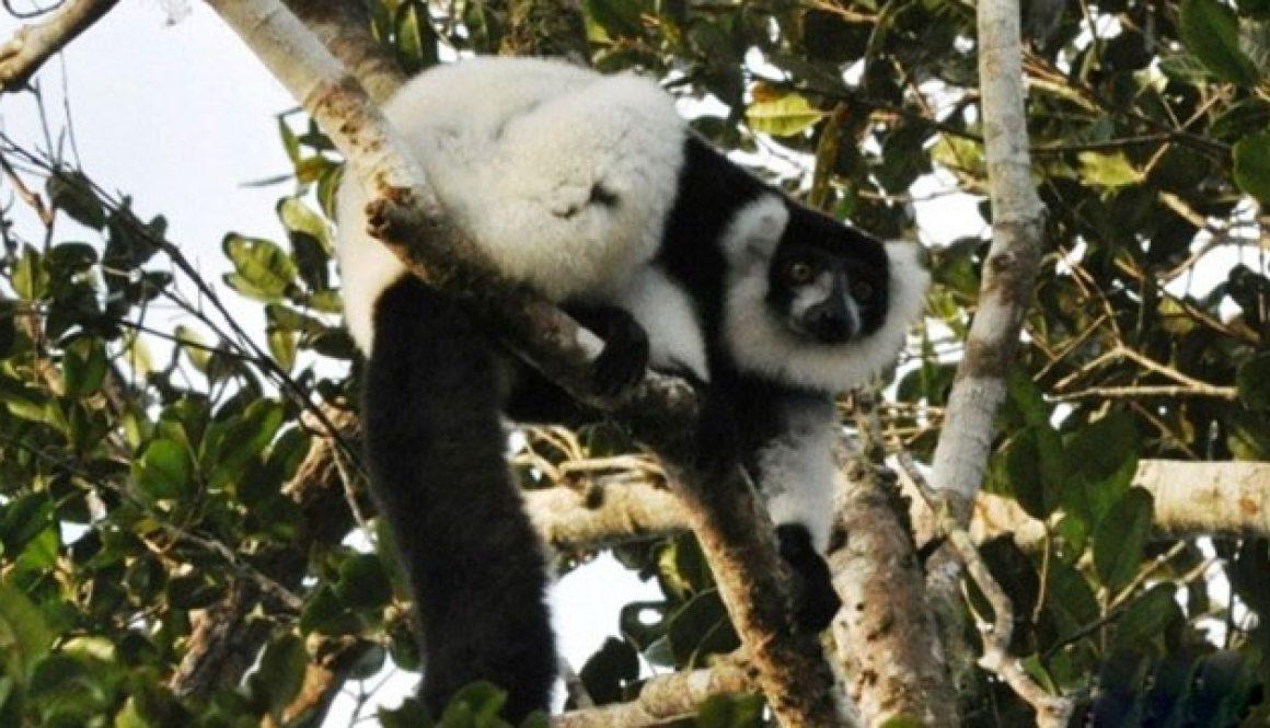 Liste des mammifères de Maromizaha