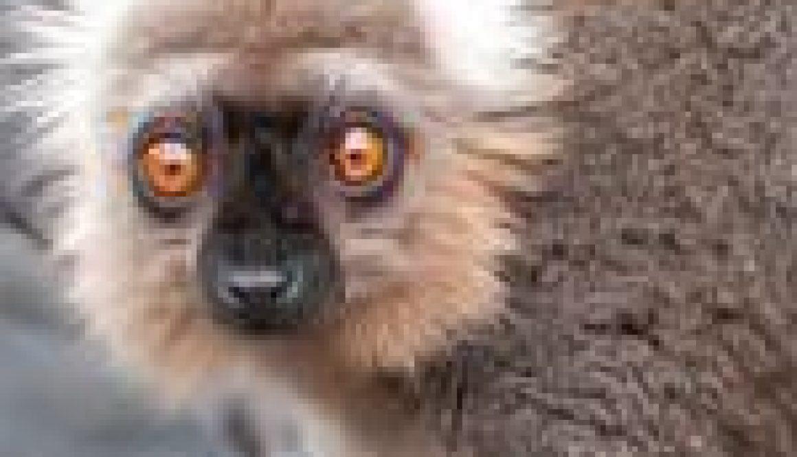 Lemurs News