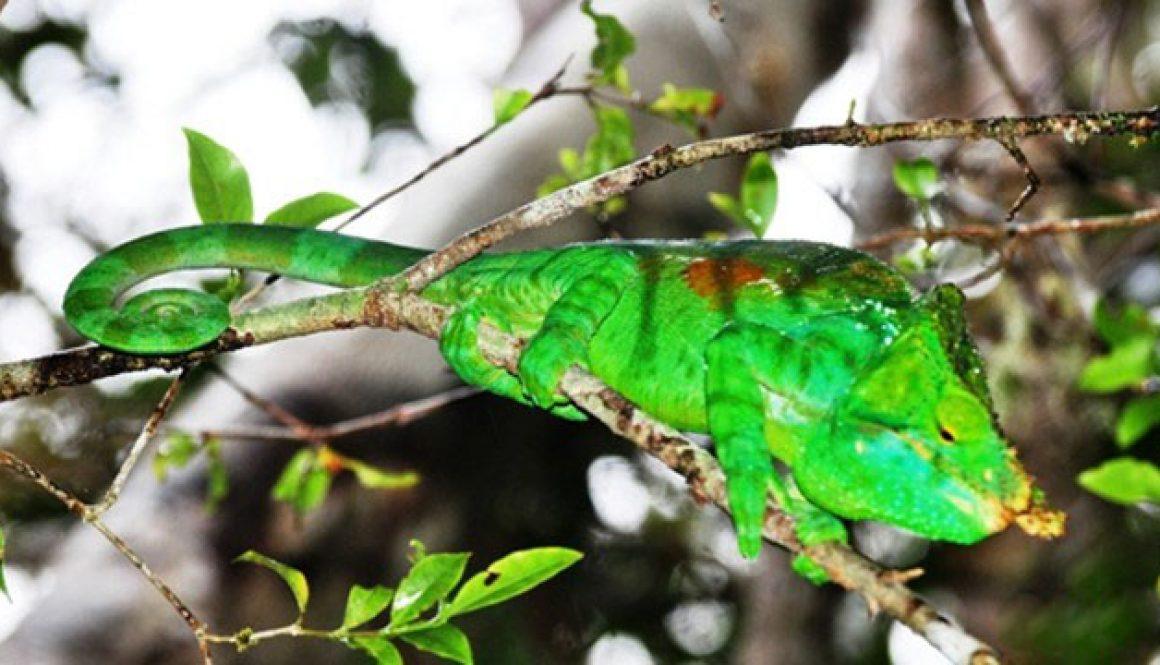 Liste des reptiles et amphibiens de Maromizaha