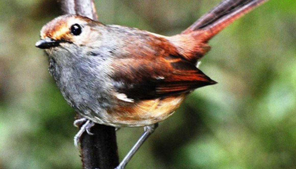 Liste des espèces d'oiseaux de Maromizaha
