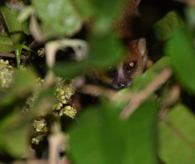 Défis pour la conservation de Microcebus gerpi, une espèce en danger critique de l'Est de Madagascar