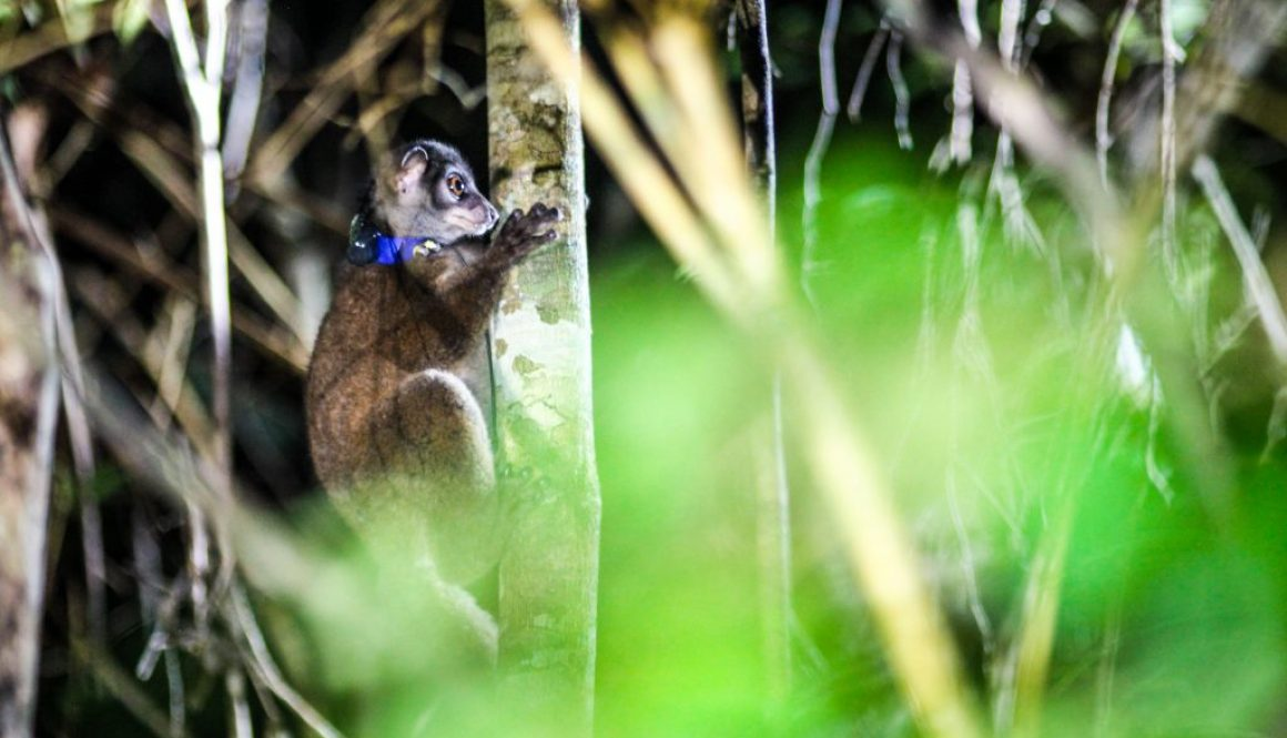 Improving the conservation status of lemur species in Manombo Special Reserve through participatory ecological research, community economic development, conservation education, and habitat restoration